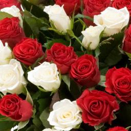 نحوه کاشت و نگهداری گل رز