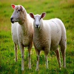 اموزش جامع پرورش گوسفند